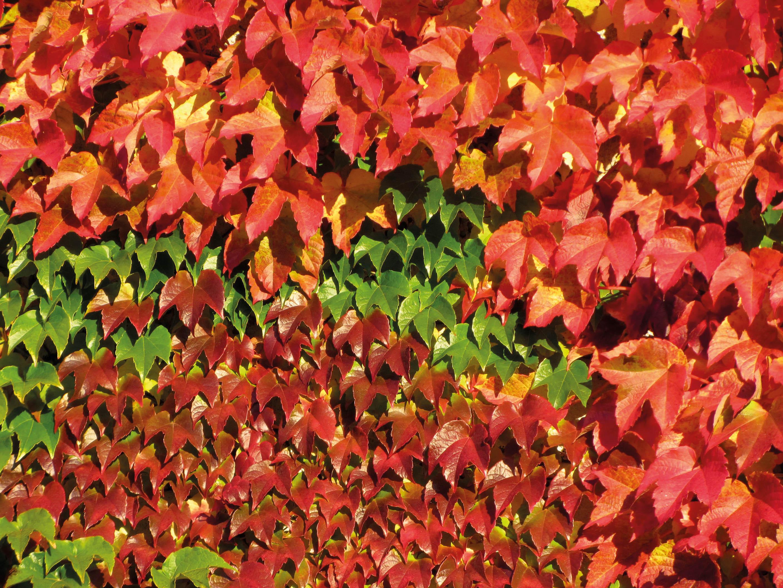 Herbstblätter. Welche Gedanken verbinden Sie damit? Bild: Jürg Krebs