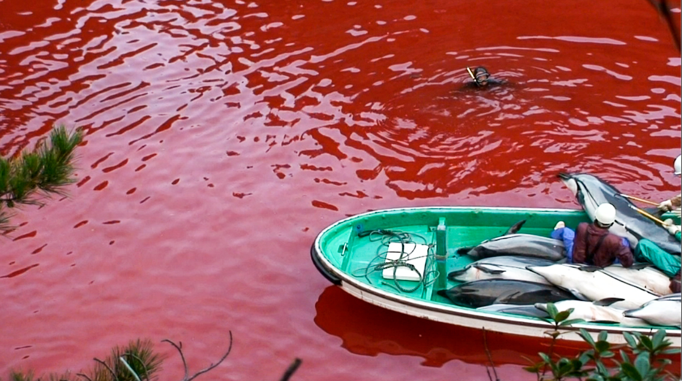 About 2300 dolphins are slaughtered for food every year in this secret cove near Taiji, Japan filmed with covert cameras by the Oceanic Preservation Society. Even though the meat is toxic the Japanese government sanctions the use of the mercury laced meat for school lunch programs.