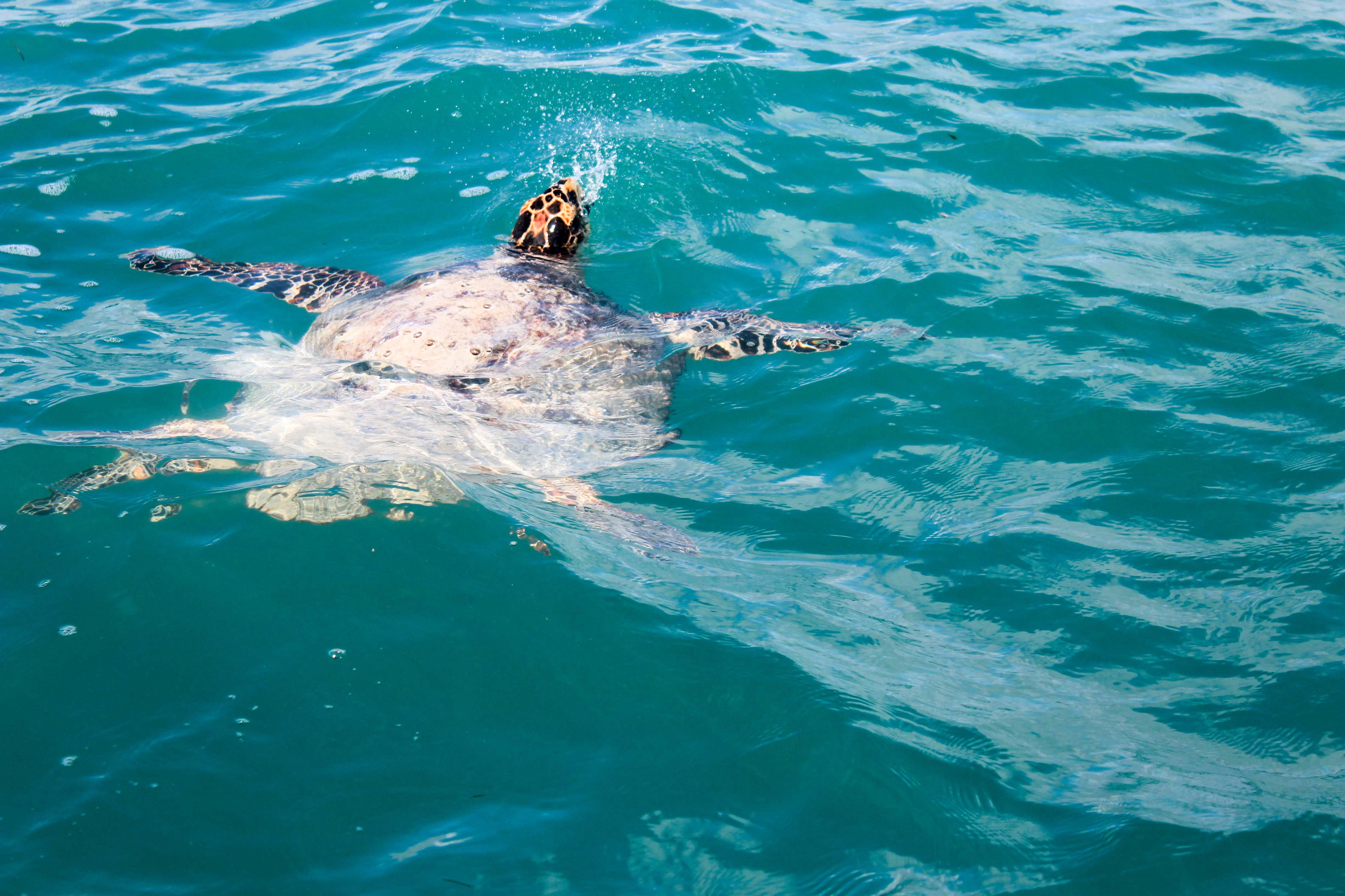Meeresschildkröte beim Luft holen.